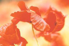 Heute gibt's nochmal 2 sehr softe Mohnbilder. Eines davon hängt demnächst als großer Druck an der Wand .... Hängt ihr Bilder von euch auch an eure Wände? Was ist euer Lieblingsmaterial?  #liebefotos #göttingen #mohn #poppy #saaldigital #forex #instapic #picoftheday #nature