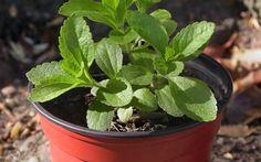 Cómo hacer stevia (en polvo y líquida) http://www.blogcocina.es/2013/06/20/como-hacer-stevia-en-polvo-y-liquida/ #recetas #BlogCocina
