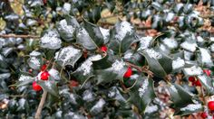 Dragon Lady Holly with the first snow of the year Dragon Lady, Female Dragon, First Snow, Evergreen, Fruit, The Fruit