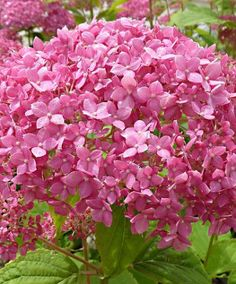 Hydrangea 'Pink Annabelle' This Hydrangea is the first aborescens variety to produce intense pink flowers and is extremely hardy. The stems remain upright in all weather and are strong enough to bear the large blooms, which have a diameter of up to 30 cm. Plant the 'Invincibelle' hydrangea in full sun for best results, but partial shade is fine too. Make sure they have sufficient watering. Height supplied 10-15 cm.