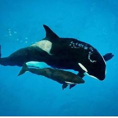 """1,212 Likes, 46 Comments - Rip Tilikum, Kyara And Kasatka (@killer__whales_) on Instagram: """"Heartbreaking news Takaras only 3 months calf kyara passed away earlier today. Rest In Peace…"""""""