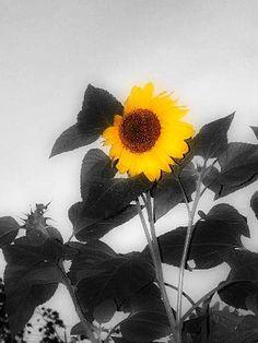 B/W Sunflower