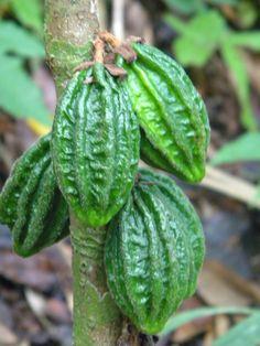 Jungle fruits, Panama