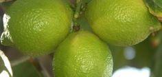 Como plantar limoeiros-taiti em vasos | eHow Brasil