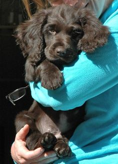 This will be my next canine baby. Boykin Spaniels. Such beautiful sweet dogs :) #Boykin #Spaniel #dog
