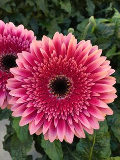 Gerbera 'Marietta' (Schreurs) Sunflowers And Daisies, Love Flowers, Silk Flowers, Beautiful Flowers, Wedding Flowers, Daisy Flowers, Daisy Art, Pink Daisy, Gerbera Flower