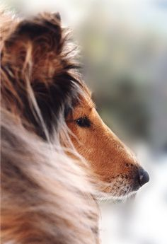 .Beautiful pic of a Rough Collie...