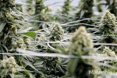Inside the marijuana farm growing Colorado's most beautiful cannabis