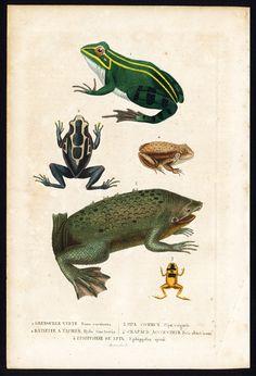 The Prints Collector :: Antique Print-FROG-TOAD-BULL-POISON ARROW-SURINAM-Drapiez-1853