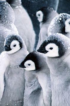 Cute animals : foto nature animals, baby animals, animals and pets, cut Nature Animals, Animals And Pets, Baby Animals, Cute Animals, Beautiful Birds, Animals Beautiful, Animals Amazing, Fauna Marina, Penguin Love