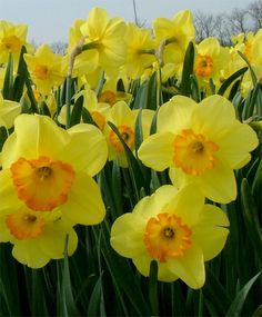 Narcissus Delibes - Large Cupped Narcissi - Narcissi - Fall 2014 Flower Bulbs
