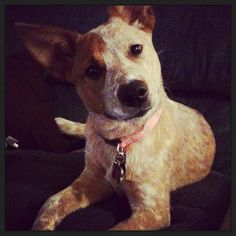 The Australian Cattle Dog - AKA The Red Heeler