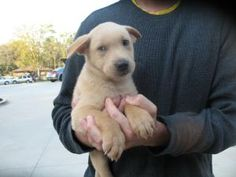 Tuffy is an adoptable Labrador Retriever Dog in Manchester, NH. 10/6- These 8 puppies and their mom (Tina) and dad (Beau Bear)were found in an abandoned burned out house in the intercity. The puppies ...