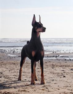http://pinterest.com/mystically/dobermans-my-of/