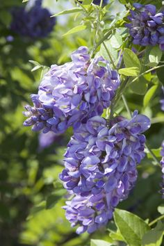 Twining plant grows about a third the rate of Asian wisteria for better behavior in small spaces. Slightly fragrant purple racemes bloom at an early age. Great in containers for porch or patio or espalier onto trellis or arbor. Flowering Trees, Trees And Shrubs, Wisteria Plant, Wisteria Pergola, Gazebo, Monrovia Plants, Plant Catalogs, Gardens, Flowers
