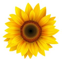 Sunflower Illustrations and Stock Art. Sunflower illustration graphics and vector EPS clip art available to search from thousands of royalty free clipart providers. Sunflower Drawing, Sunflower Flower, Sunflower Design, Yellow Sunflower, Sunflower Clipart, Small Sunflower, Flower Wall, Flower Prints, Sunflower Home Decor