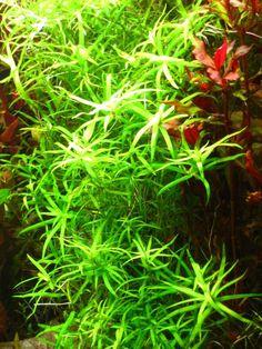 Star Grass (Heteranthera zosterifolia)