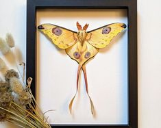 Argema mittrei male framed comet moth Madagascar | Etsy Giant Moth, Habitat Destruction, Third World Countries, Faux Taxidermy, Black Paper, Watercolor Paper, Habitats, Insects, Moose Art