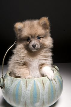 Pomeranian Puppy    Like, repin, share! :)
