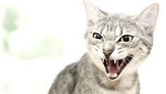 Is your kitty overly aggressive? Do they grab onto your feet and claw at your ankles when they shouldn't? Do they seem normal one minute and then hiss and claw at you or an innocent guest the next?