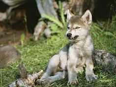 Li'l wolf pup just wants to devour your soul Wolf Photos, Wolf Pictures, Wolf Spirit, Spirit Animal, Beautiful Wolves, Animals Beautiful, Canis Lupus, Wolf Love, Wild Dogs