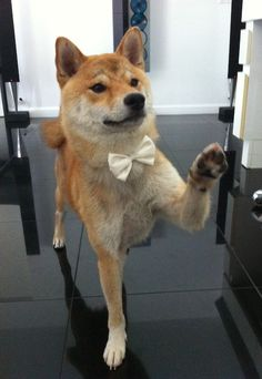 dogs with bowties are instantly cuter