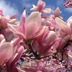 Saucer magnolia, aka tulip tree - are alive and well all around Sonoma County this spring.