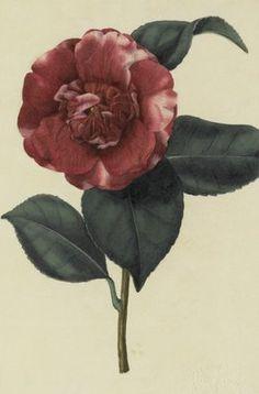 Camellia japonica var by  John Curtis