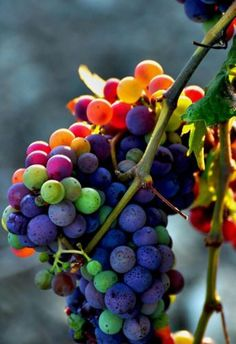 15 Rainbow Grape Seeds Colorful Sweet Vine Plant FREE Shipping USA Seller