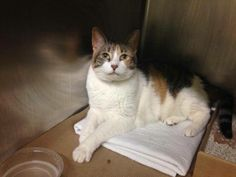 TO BE DESTROYED 6/12/14 ** Sweet Fiona! Fiona interacts with the observer, appreciates attention, is easy to handle and tolerates all petting. ** Manhattan Center  My name is FIONA. My Animal ID # is A1001190. I am a spayed female calico domestic sh mix. The shelter thinks I am about 7 YEARS old.  I came in the shelter as a OWNER SUR on 05/27/2014 from NY 10472, owner surrender reason stated was ALLERGIES.