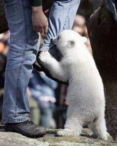 Baby polar bear Knut bites his minder's leg at Berlin Zoo. Photo: AFP