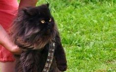 13 Awesome chewbacca cat costume images