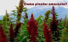 Como plantar amaranto #plantas #hortas #comofazer #dicas