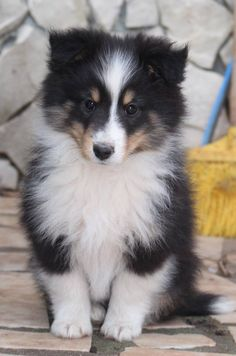 Tri Sheltie Puppy - Way too cute!!