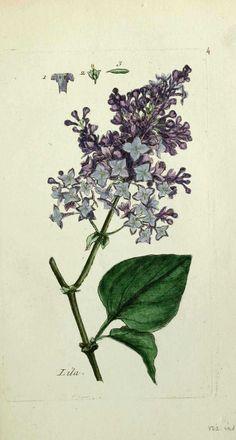 img/gravures anciennes de plantes et fleurs/lilas - syringa vulgaris ( queue de renard des jardiniers ).jpg