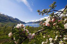 Apple blossoms in Hardanger by robinstrand, via Flickr