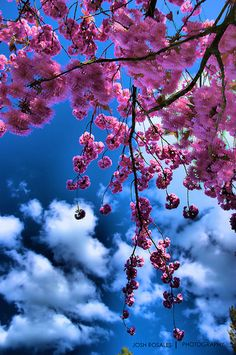 Cherry Blossoms...