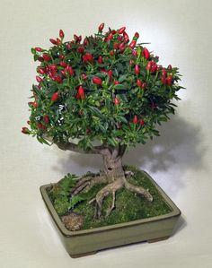 Čili bonsai auginimas.