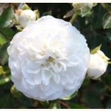 Snow Ballet® - groundcover rose.