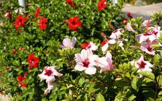 50 + photos of hibiscus: exotic home handsome
