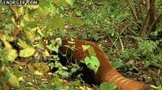 Single Panda Animals Giff #7581 - Funny Panda Giffs| Funny Giffs| Panda Giffs