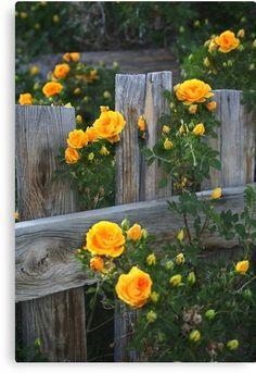 Kletternde gelbe Rosen Ich habe diese im Garten die mit den purpurroten Clematis… Climbing yellow roses. I have these in the garden growing with the purple clematis.