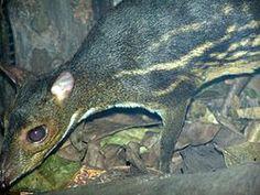 ciervo ratón de India (Moschiola indica) es una especie de mamífero artiodáctilo de la familia Tragulidae que habita en India, y quizá en Nepal. Tiene una longitud de 57,5 cm con una cola de 2,5 cm; pesa alrededor de 3 kg. Vive en la selva y tiene hábitos nocturnos
