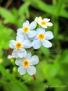 Forget Me Nots by CindyELClarkPhotos on Etsy