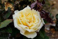 'Alexander Hill Gray ' Rose Photo