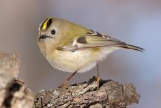 Goldcrest. The Goldcrest is smaller than the Wren and is Europe's smallest bird. They will visit gardens, but it is only in extremely cold winters that they will venture to bird tables for crumbs of bread and cheese. Their diet is mainly insects and spiders, which they usually find among the leaves and branches, and sometimes by hovering underneath the leaves. Their favoured trees are spruce, pine and fir.