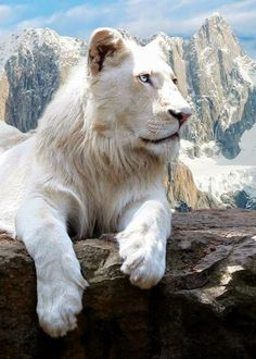 White Lion: Those ice blue eyes are magnificent!