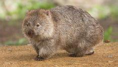 Vombater bor i huleganger. Om kvelden kommer de ut for å spise gress og planter. List Of Animals, Zoo Animals, Tasmania, Amphibians, Mammals, Common Wombat, Insect Species, Australia Animals, Baboon