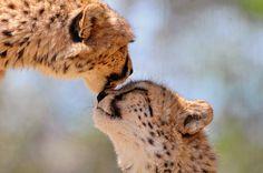 Tenderly licking cheetah (by Tambako the Jaguar) Animals Kissing, Cute Baby Animals, Wild Animals, Beautiful Cats, Animals Beautiful, Beautiful Things, Serval, Sleepy Cat, Cheetahs