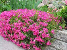 Sammalleimu - Phlox subulata Pink Perennials, Spring Scene, Outdoor Gardens, Diy And Crafts, Terrace Ideas, Garden Ideas, Home And Garden, Yard, Landscape